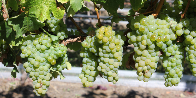 picture of grapes on the vines